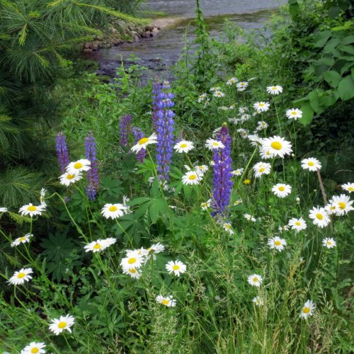 9. Daisies and Lupines on River Bank