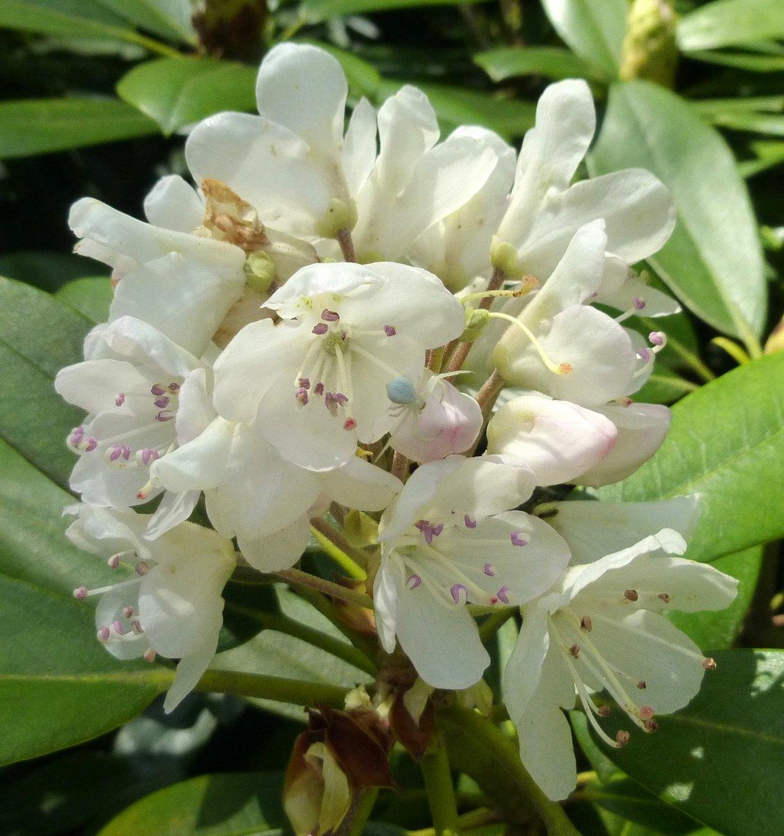 9. Native Rhododendron Blossom