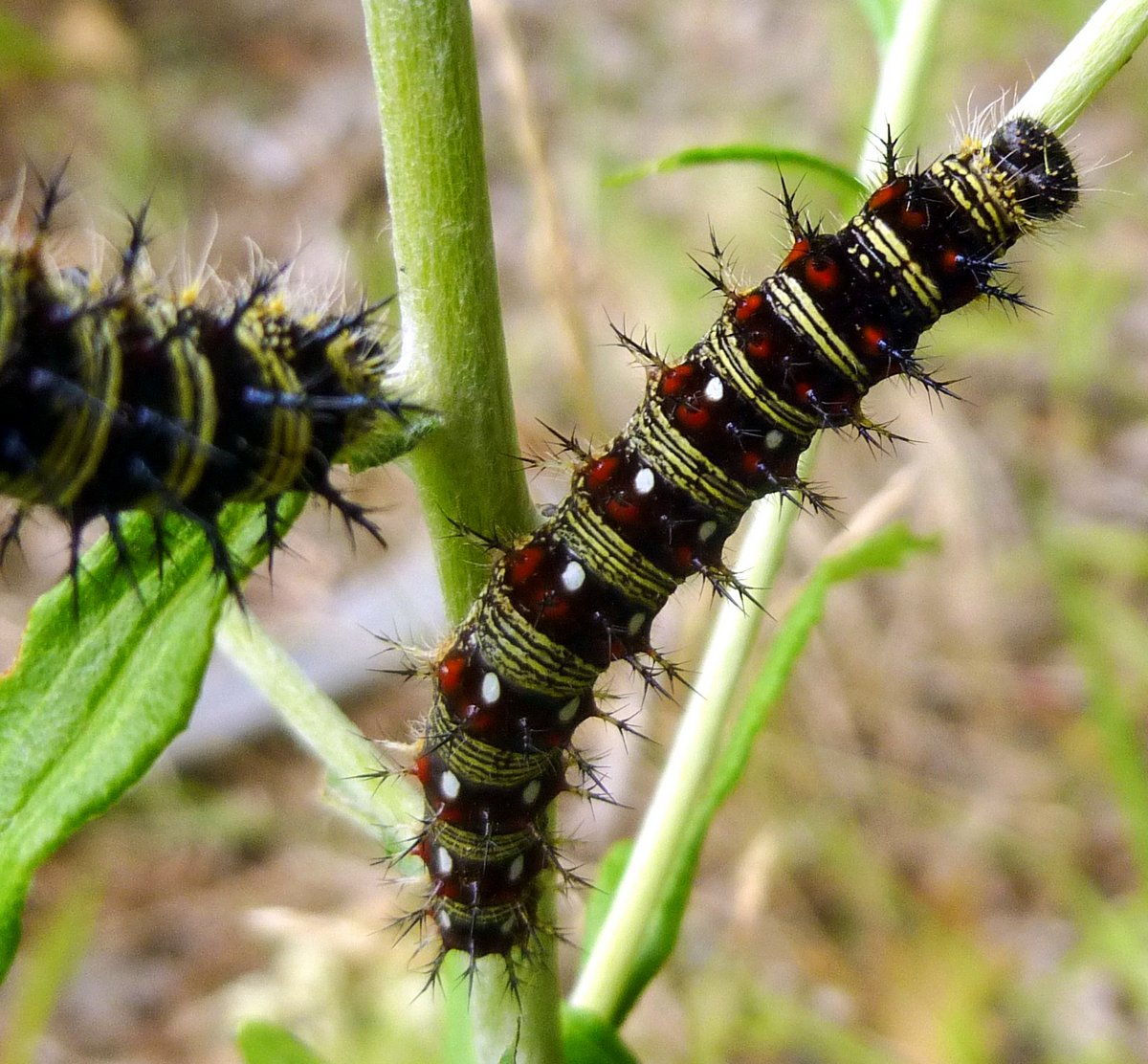 painted lady butterfly caterpillar - photo #46