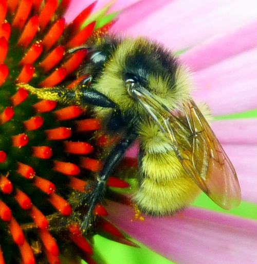 1. Bumblebee on Cone Flower