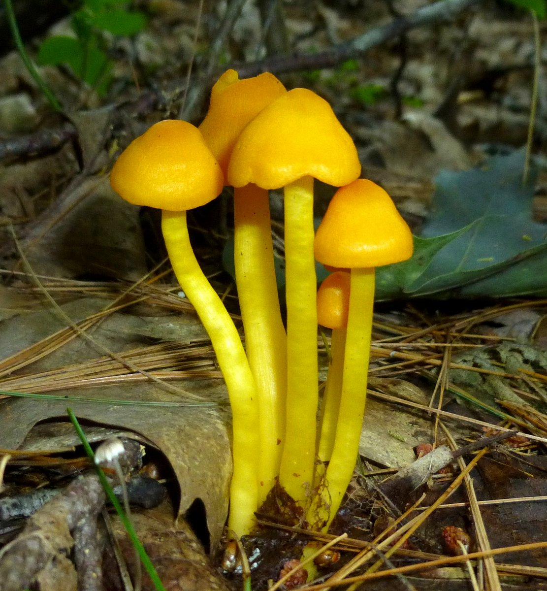 1. Butter Wax Cap Mushrooms