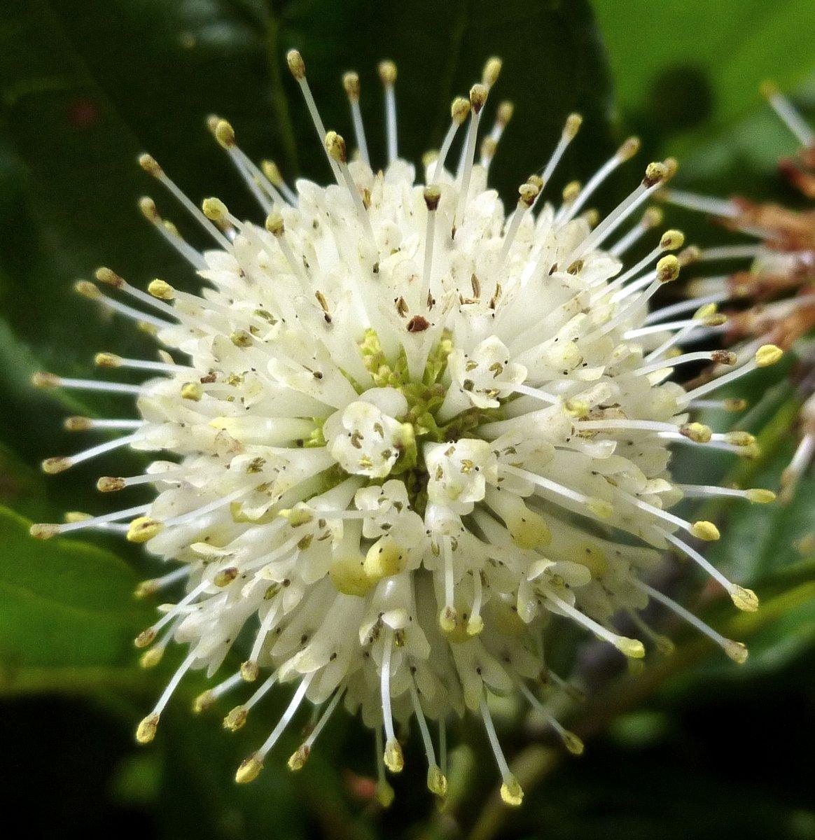 10. Buttonbush Flower 2
