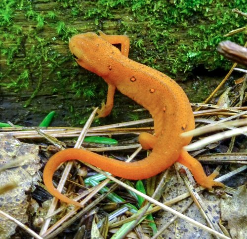 10. Eastern Red Spotted Newt