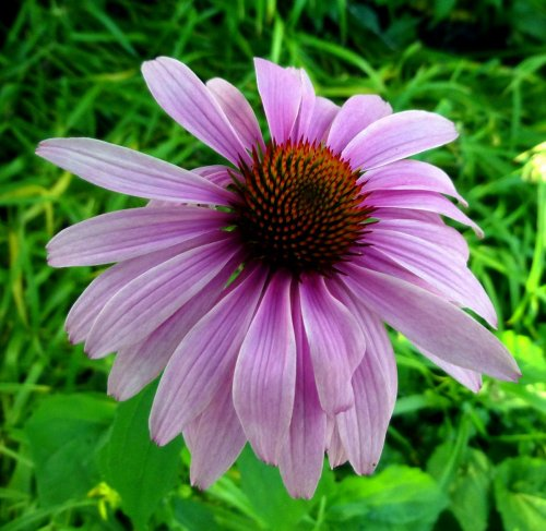 10. Purple Coneflower