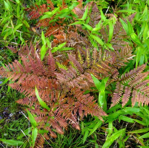 11. Bracken Ferns and Deer Tongue Grass