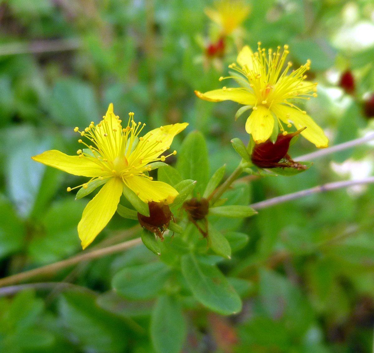 11. Dwarf St. Johnswort aka Hypericum mutilum