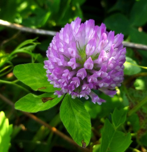 11. Red Clover 2