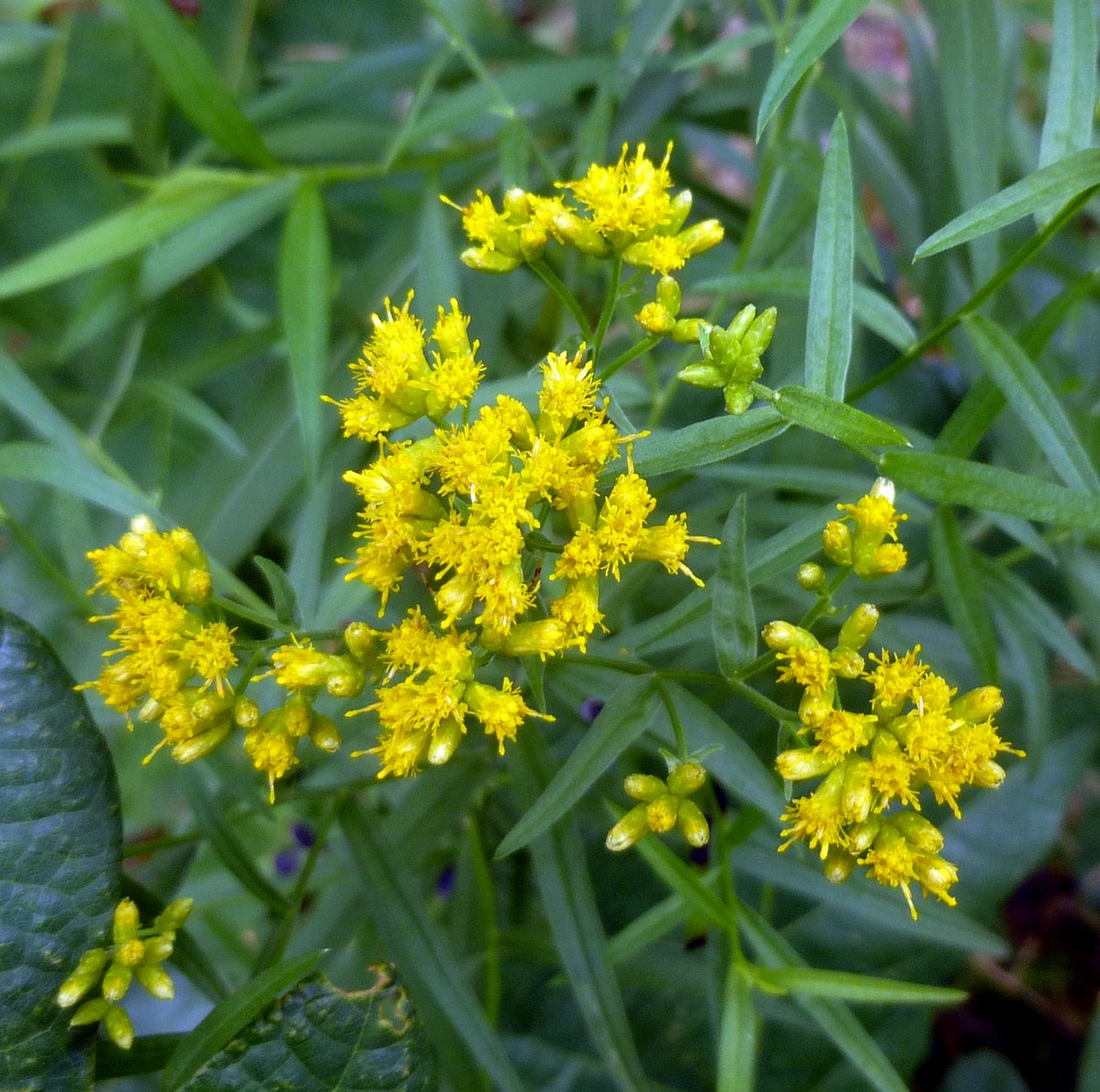 11. Slender Fragrant Goldenrod
