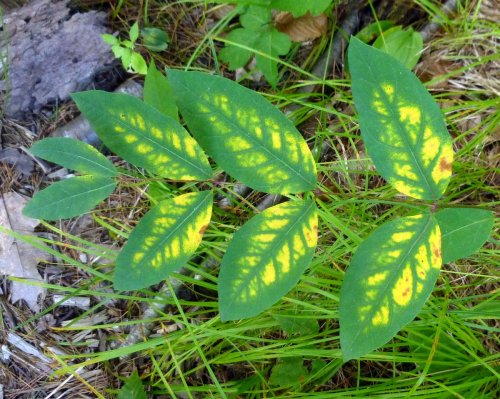 12. Honysuckle Leaves