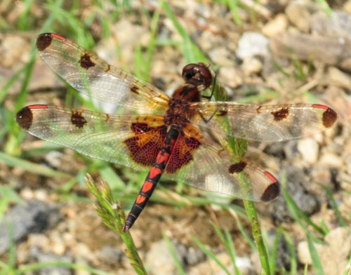 14. Calico Pennant Dragonfly