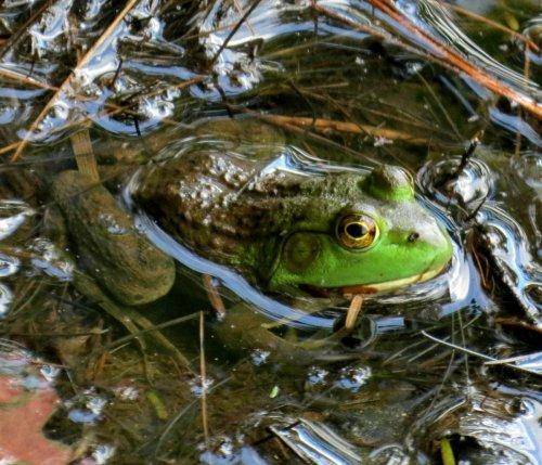14. Frog