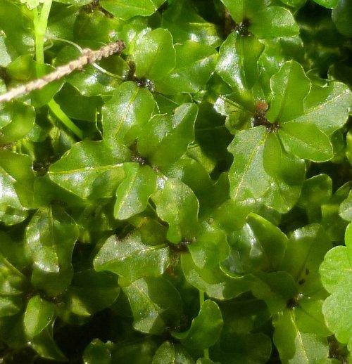 14. Red penny Moss aka Rhizomnium punctatum