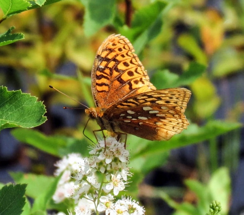 15. Great Spangled Fritillary on Meadowsweet