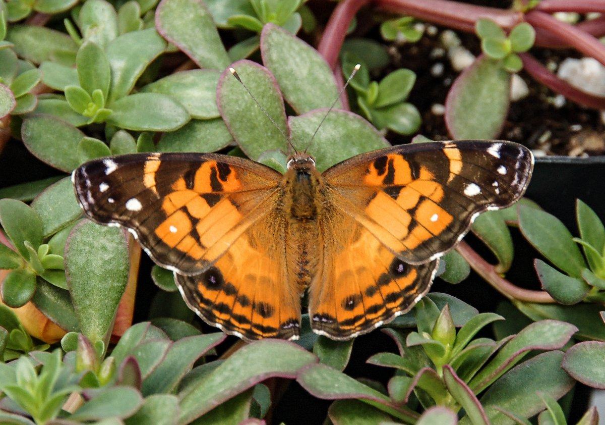 2. American Lady Butterfly by  Derek Ramsey