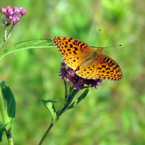 2. Great Spangled Fritillary