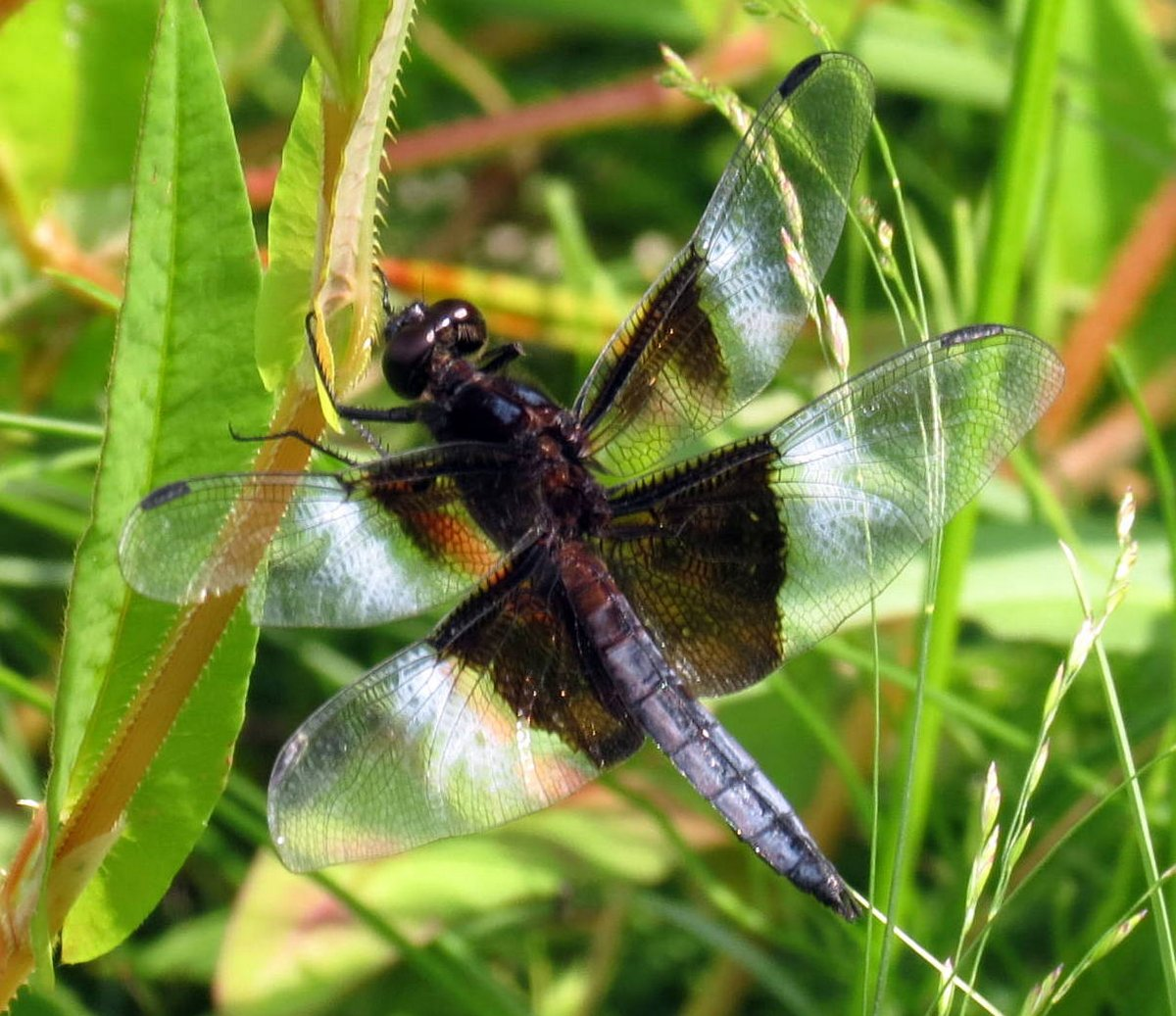 3. Male Widow Skimmer Dragonfly