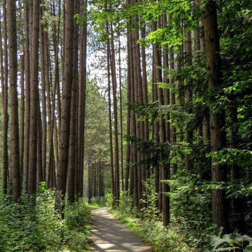 3. Path Through the Pines