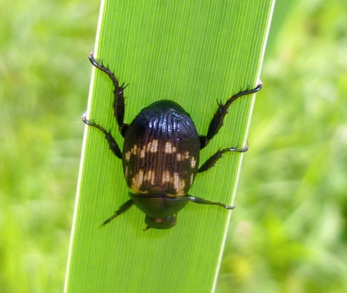 4. Asian Beetle ob Cattail Leaf