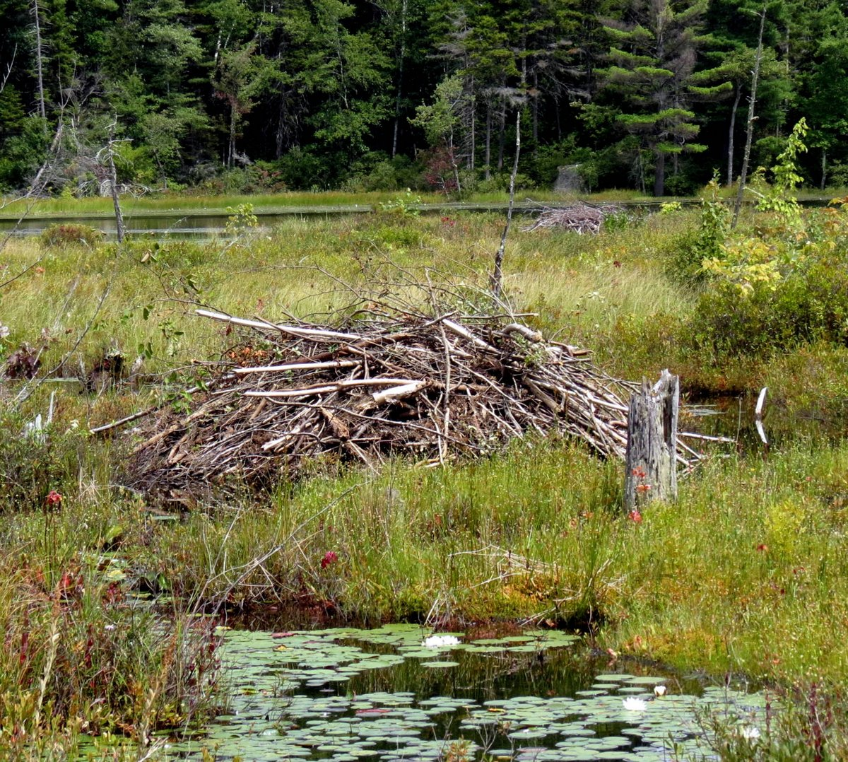 5. Beaver Lodges