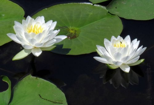 5. Fragrant White Water Lilies