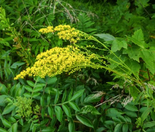 5. Gray Goldenrod