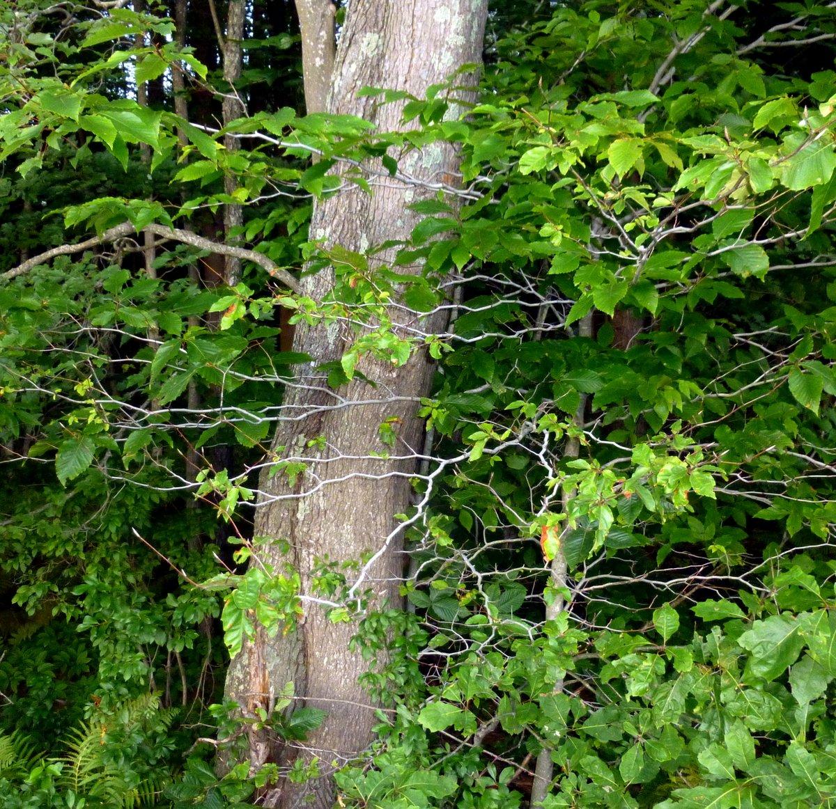 6. Beech Branches