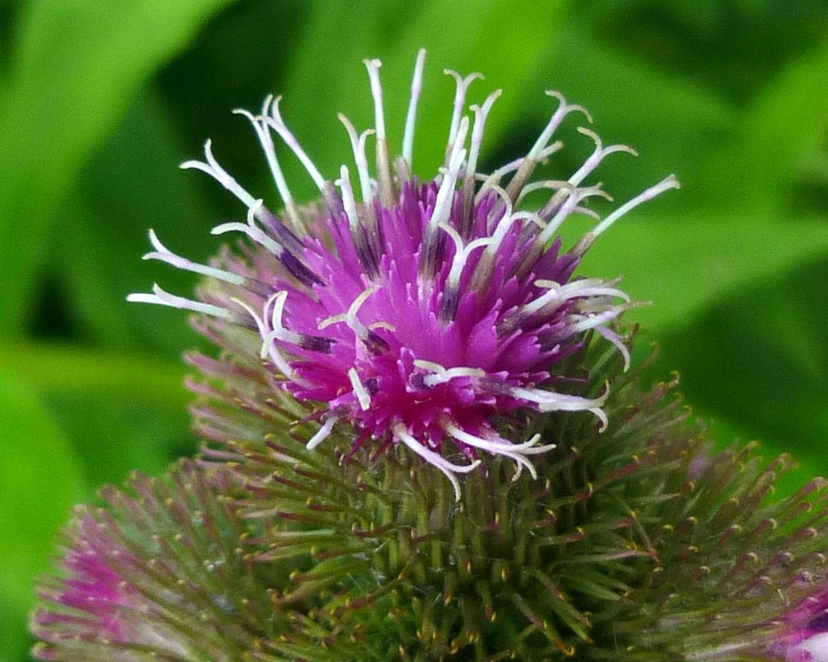 6. Burdock Flower