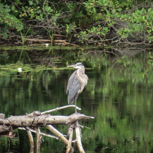 6. Great Blue Heron