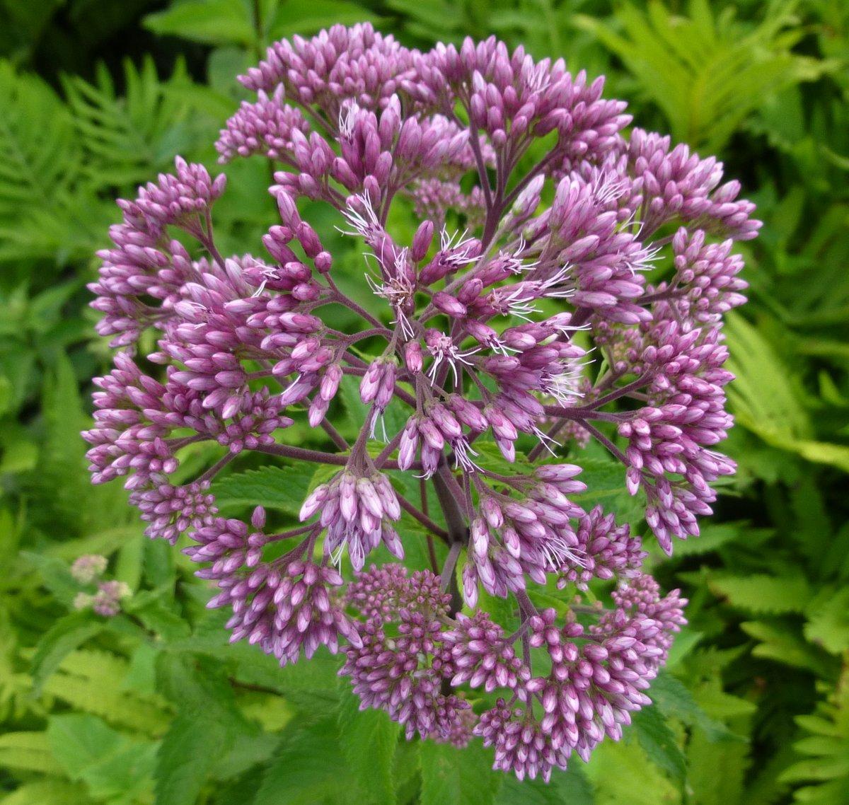 Joe pye weed new hampshire garden solutions for Joe pye weed