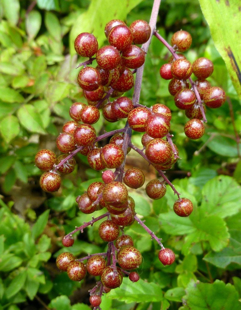 7. False Solomon;s Seal Berries