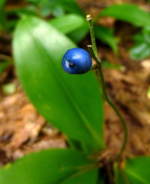 8. Blue Bead Lily Fruit
