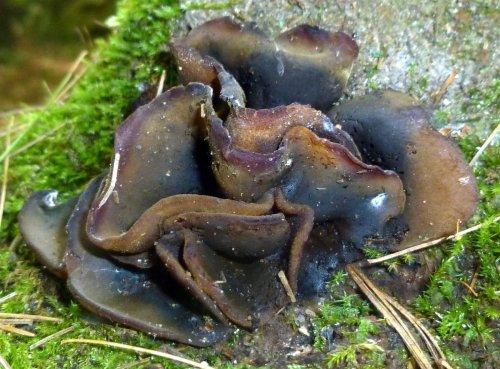 9. Wood Ear Fungi aka Auricularia cornea
