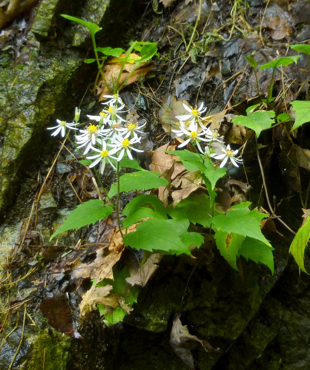 10. White Wood Aster aka Aster divaricatus