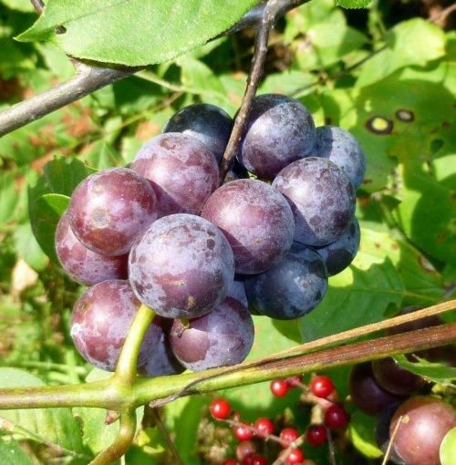 10. Wild Grapes