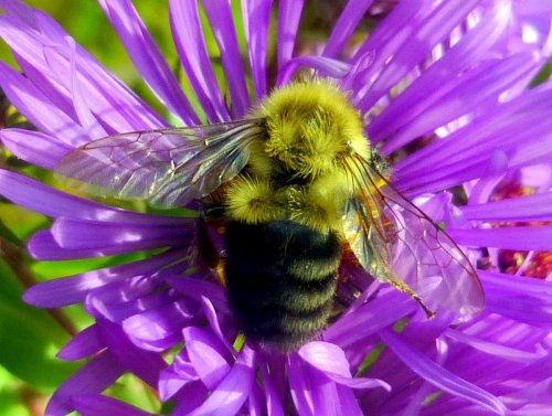 12. Bee on Aster