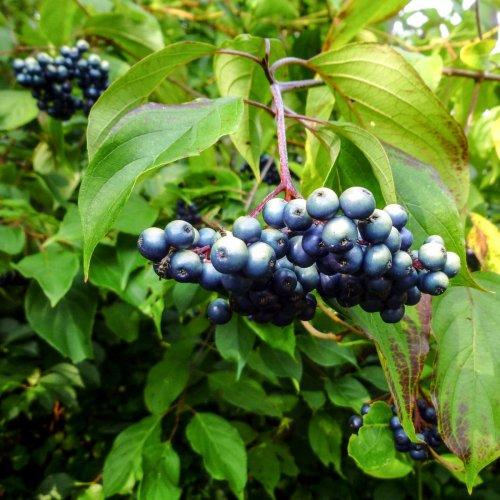 12. Silky Dogwood Berries