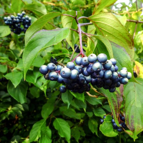 12. Silky Dogwood Berries
