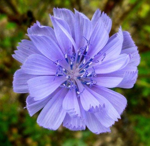 13. Chicory