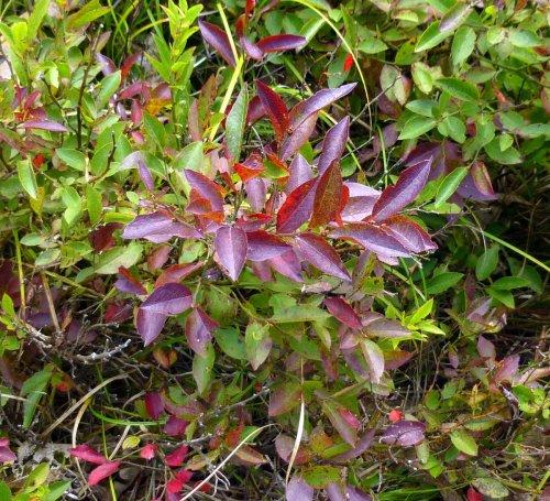 13. Lowbush Blueberry