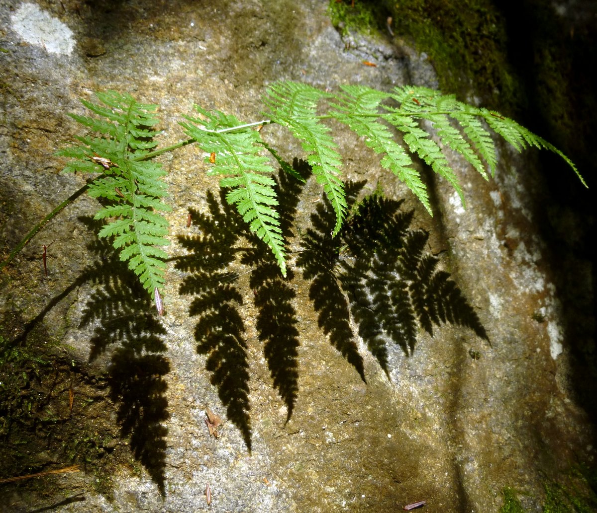 13. Spinulose Woodfern Shadow