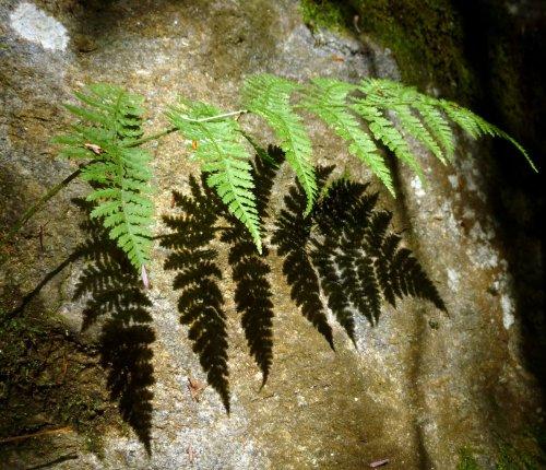 13. Spinulose Woodfern Shadow
