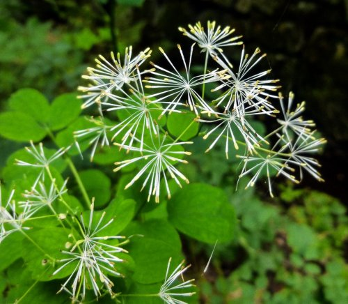 14. Meadow Rue