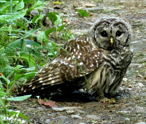 15. Barred Owl