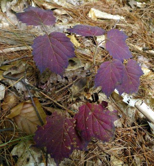 15. Maple Leaf Viburnum 3