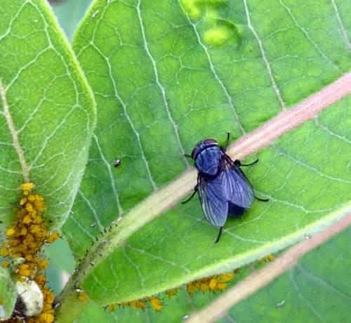 2. Blue Bottle Fly