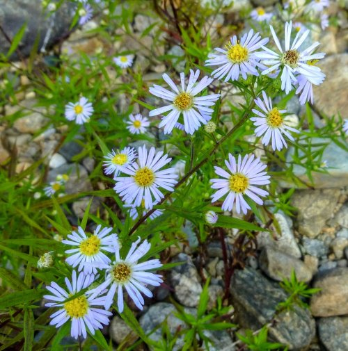 2. Possible Purple Stemmed  Aster-