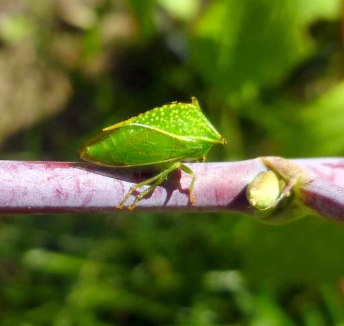 3. Leaf Hopper