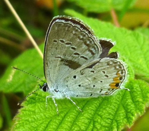 5. Eastern Tailed Blue Butterfly aka Cupido comyntas