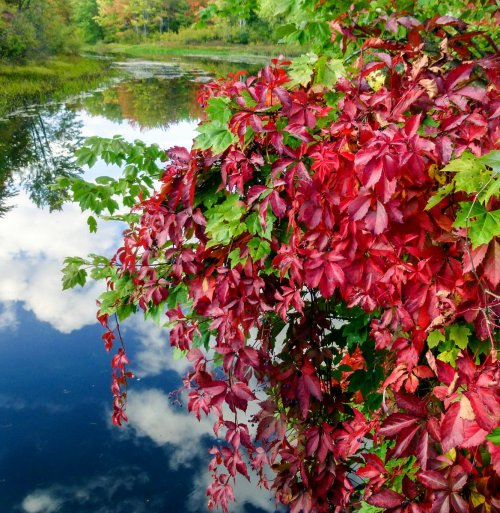 5. Virginia Creeper