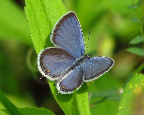 6. Eastern Tailed Blue Butterfly aka Cupido comyntas By D. Gordon E. Robertson